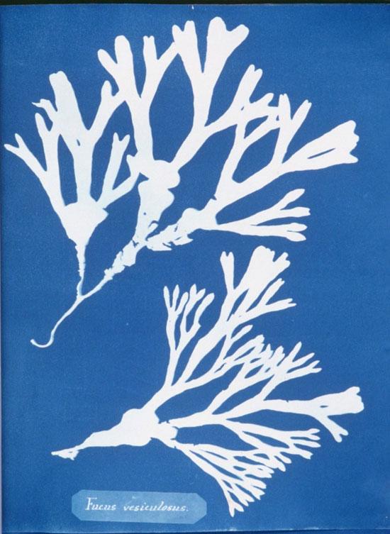 cyanotype anna atkins 3